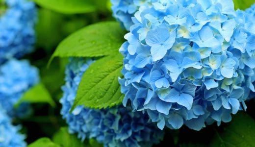 紫陽花の花言葉をご紹介!たくさんの意味があるんです!